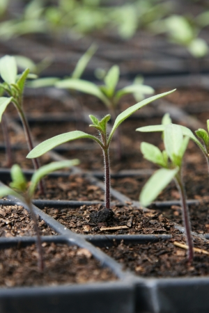 Tomato seedlings in pot Stock Photo