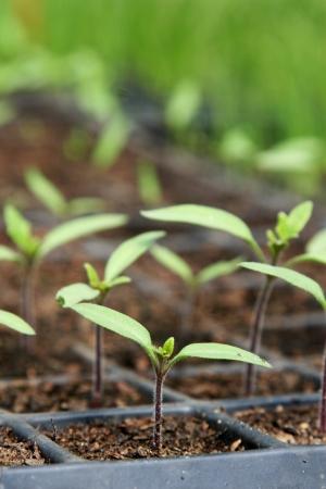 Tomato seedlings in pot Reklamní fotografie