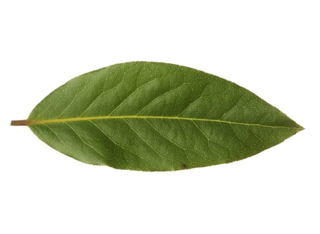 Single bay leaf isolated on white background Banque d'images