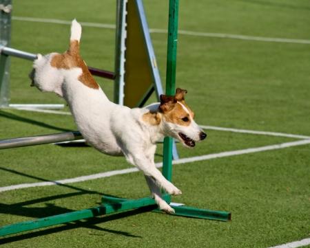 perro corriendo: Perro de agilidad con un jack russell terrier Foto de archivo
