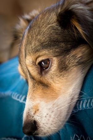 m�lancolie: M�lancolie chien Banque d'images