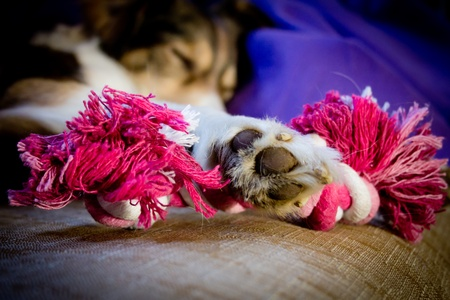 Dog holding a toy with a paw Stock Photo