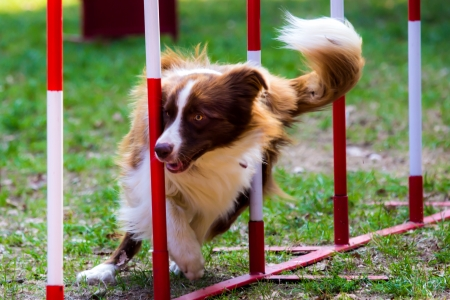 hurdles: Agility dog with a red border collie