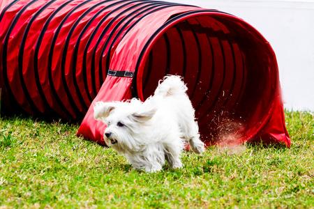 Agility dog with a white dog