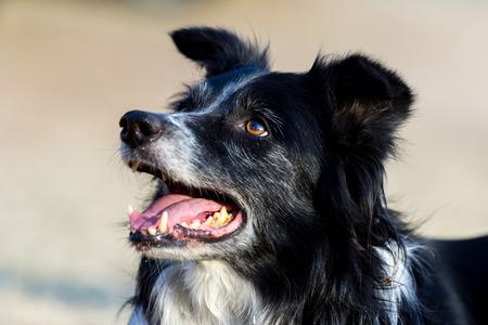 purebreed: Border collie head - Purebreed dog Stock Photo