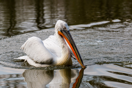 A Particular of an adult Dalmatian Pelican photo