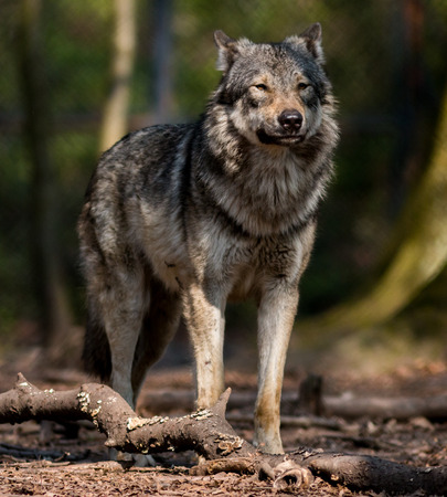 A Wolf stands  in the forest
