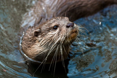 small clawed: A curious river otter in the river