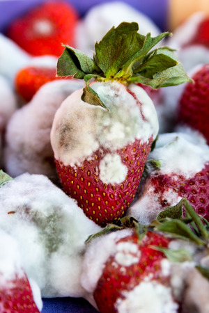 mildew: Moldy strawberries in macro close up