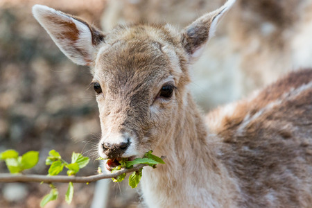 A little Fawn looking at the camera and eating leaves
