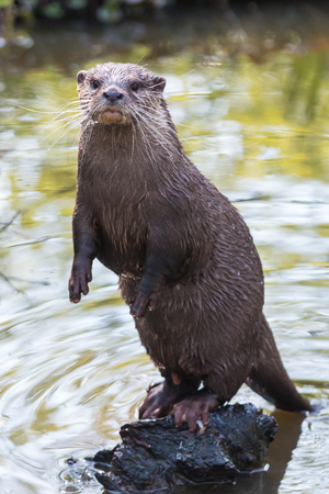 A curious river otter in the river