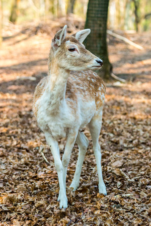 A little Fawn looking at the camera in the middle of the forest