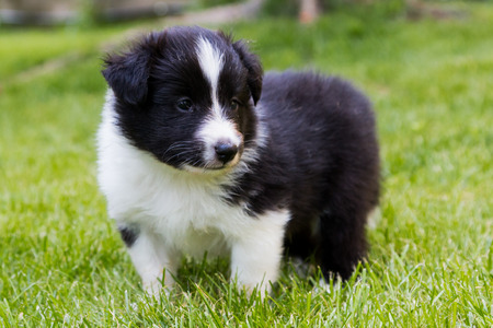 Shetland shepard puppy laying in the grass Stock Photo