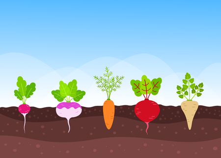 Vegetable garden with different growing root-crops below ground level. Vector illustration in flat style