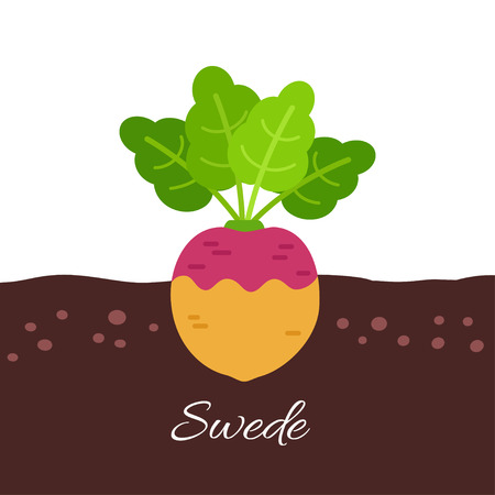 Vector flat illustration of swede (rutabaga) growing below ground level on white background