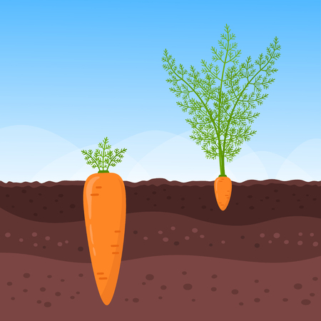 Large carrot with small leaves and little one with lush foliage growing below ground level. Vector illustration