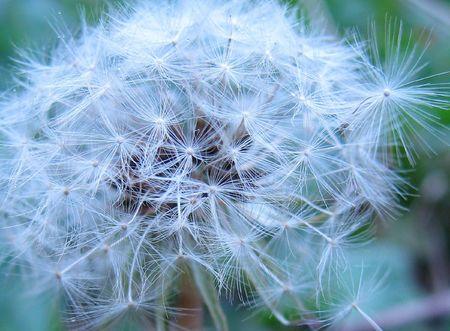 piebald: flor del resorte