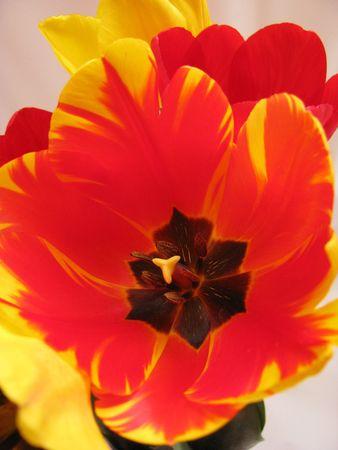 variegated: variegated tulip