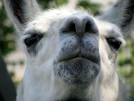 wolly: lama Stock Photo