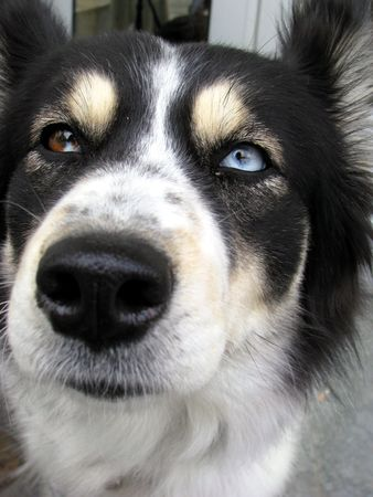 two colored eyes puppy photo