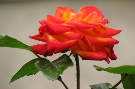 colorful rose photo