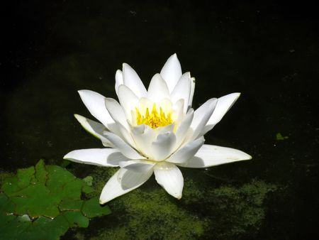 white spring flower in the water photo