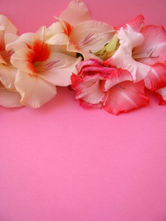 flowers on pink background Stock Photo - 3476419
