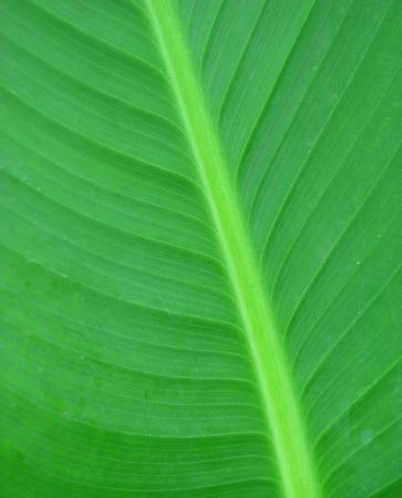 Closeup of beautiful green lamina Stock Photo - 5461036