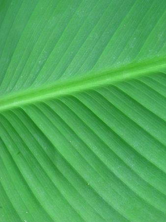 Closeup of green lamina Stock Photo - 5461044