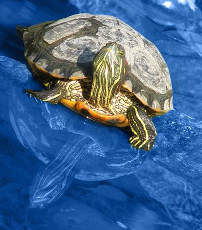 Beautiful turtle and her reflection in the water photo
