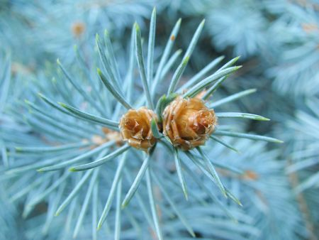 cycadaceae: beautiful pine tree