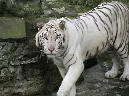 Beautiful white tiger photo