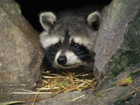 racoon: Small afraid racoon