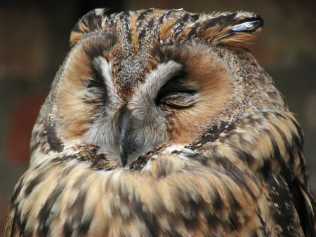 Sleepy owl Stock Photo - 6021883