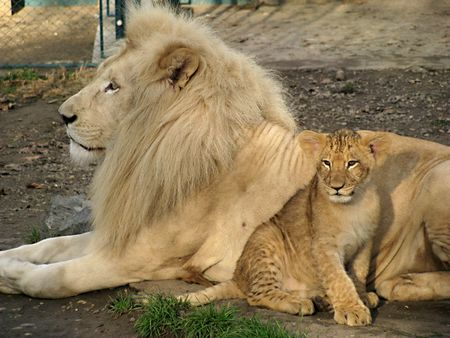 Proud daddy lion and small baby lion photo