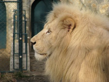 Beautiful profile of proud lion photo