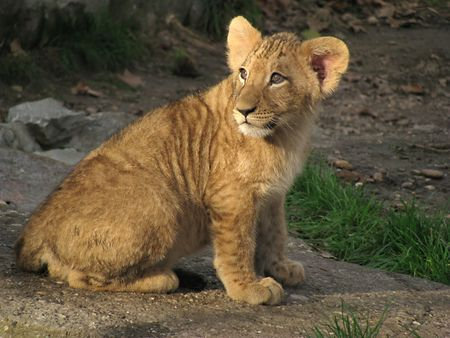 Beautiful small baby lion photo