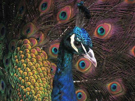 Close up of beautiful colorful peacock photo