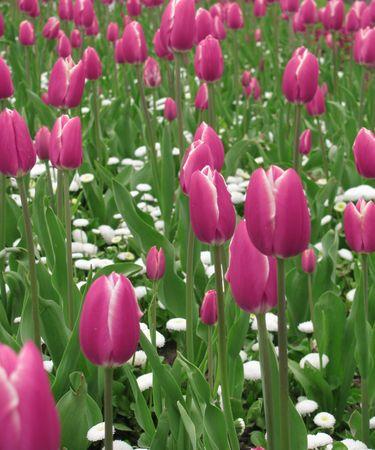 contryside: tulips all around Stock Photo