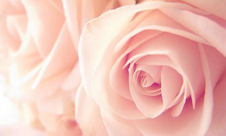 beautiful rose photo