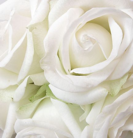 funeral background: white roses