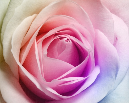 contryside: BEAUTIFUL ROSE  Stock Photo