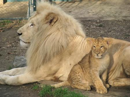 lion baby: Bella pap� Leone e baby Leone