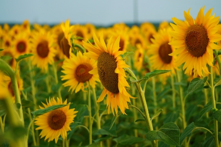 yellow stamens: sunflower field witl lot of yellow flowers Stock Photo