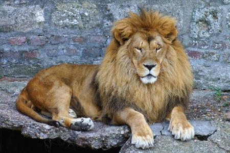 portret van trotse leeuw
