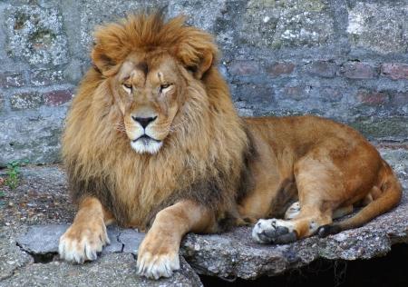 sightsee: Portrait of beautiful,proud white lion