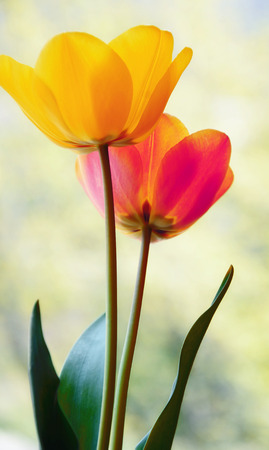 spring flowers  Tulips photo