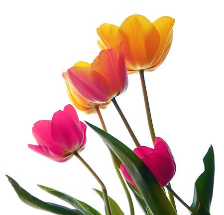 spring flowers  Tulips photo