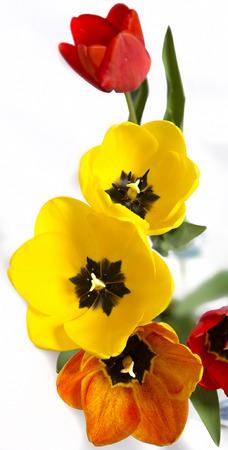 contryside: flower tulip background