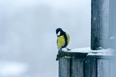 tomtit: winter tomtit bird under snow Stock Photo